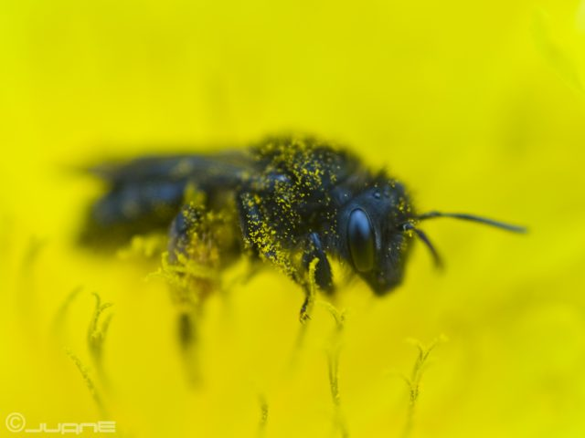 Canarian dark bee, the most studied,  the less known