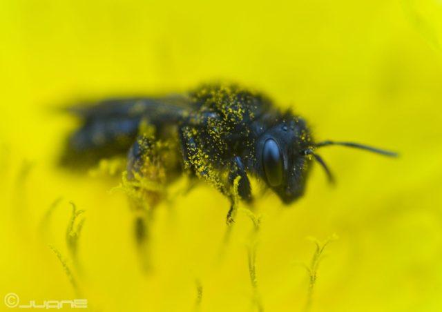 L'abeille noire des Canaries, la plus étudiée, la moins connue