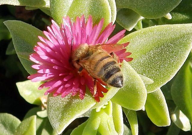 Les experts européens volent au secours des abeilles maltaises