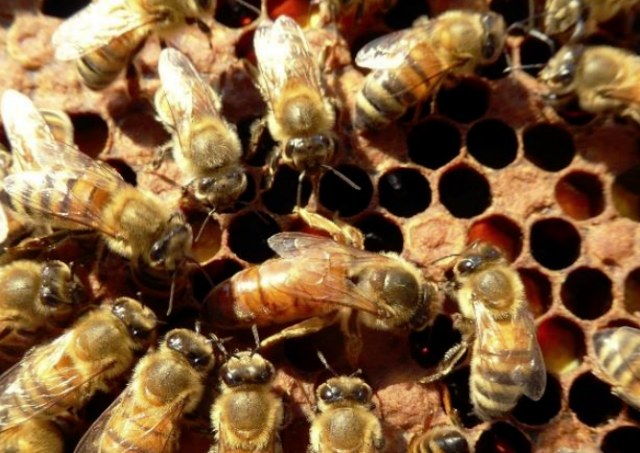 Appeal to protect italian local bees