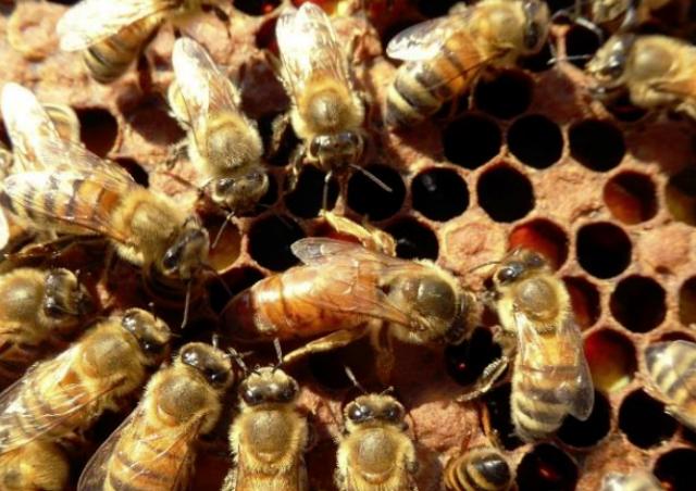 Appel à protéger les abeilles italiennes