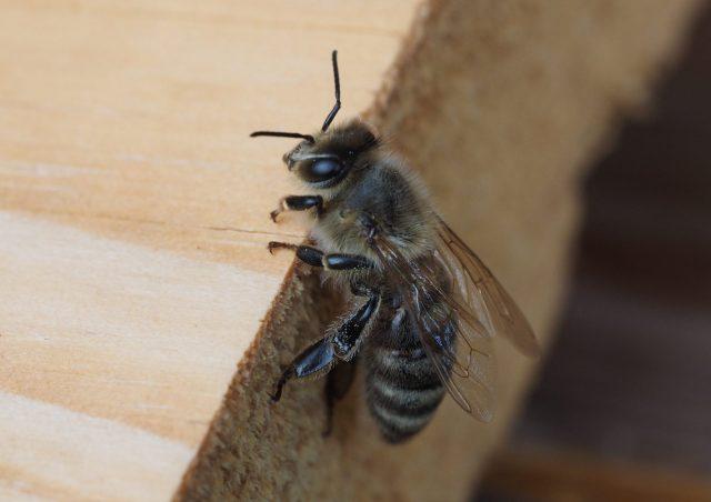 Colonsay et Oronsay deviennent des sanctuaires pour les abeilles mellifères