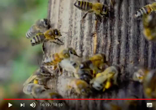 VIDEO : saving the dark bee of Ardèche (France)